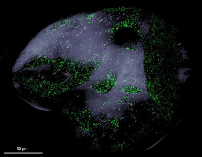 모래를 형광현미경으로 확대해 본 모습. 녹색으로 보이는 점들이 미생물들이다. - MPIMM 제공